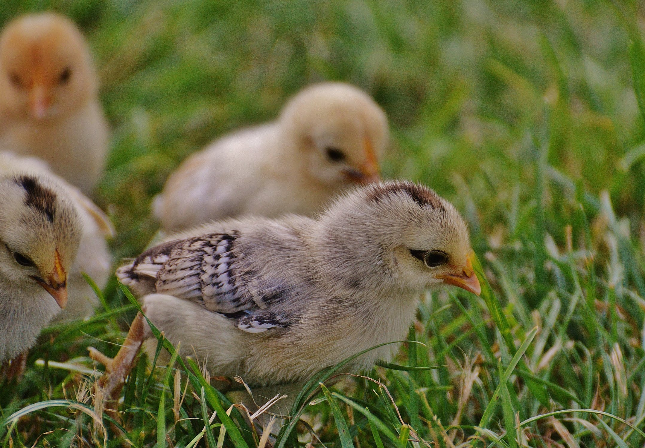 chicks-chicken-small-poultry-162118.jpeg
